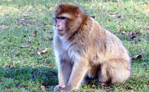 barbary macaque monkey barbary