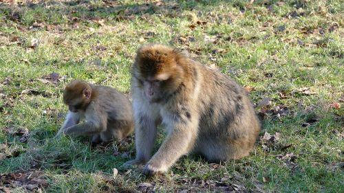 barbary macaque monkeys barbary