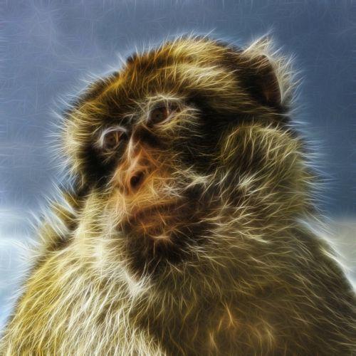 barbary macaque common macaque berberaffe