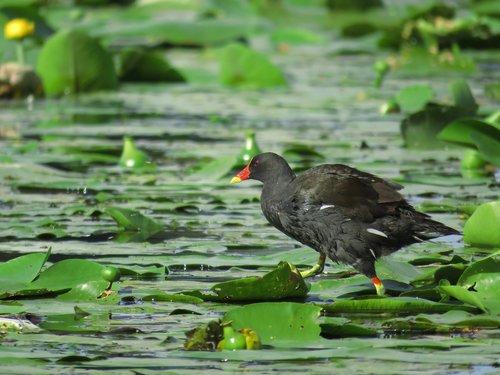 barbatus  bird  water hen