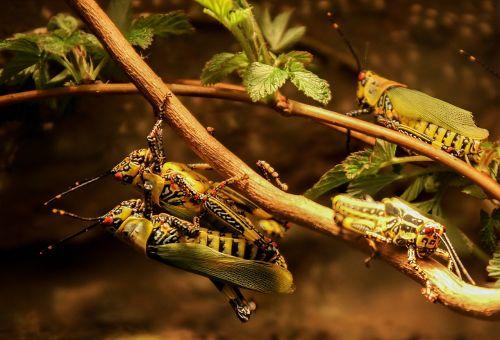 barbecue grasshoppers grasshopper