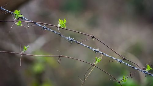 barbed wire plant