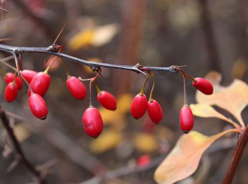 barberry berry spikes