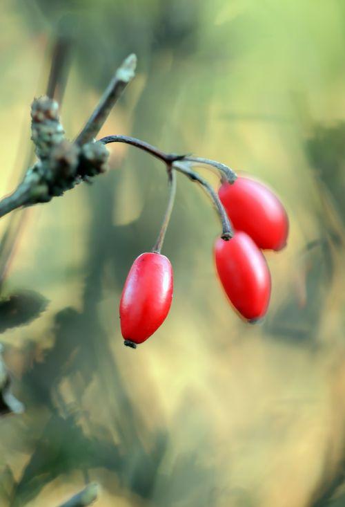 barberry berberis thunbergii berries