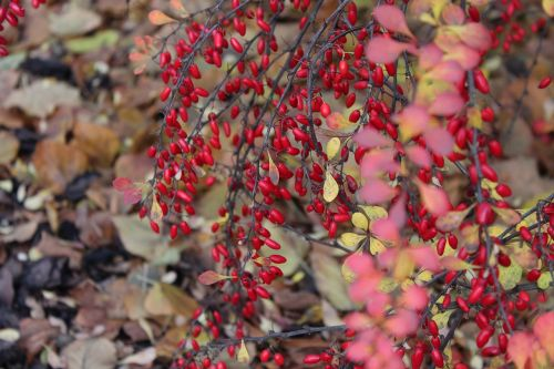 barberry bush autumn