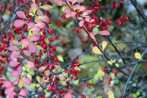 barberry ornamental shrub red fruits
