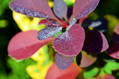 barberry  dew  drop