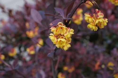 barberry berberis ottawensis blossom