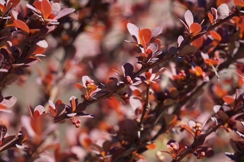 barberry berberis vulgaris vinegar berry
