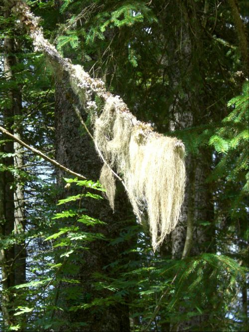 barber's itch lichen branch