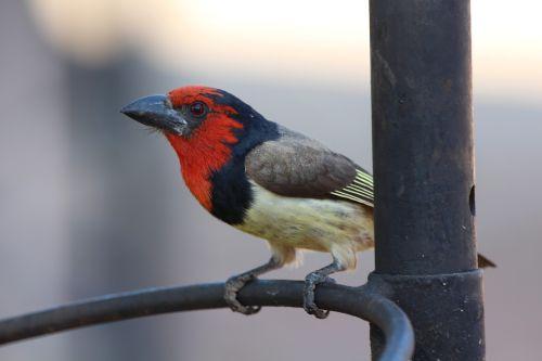 barbet bird africa