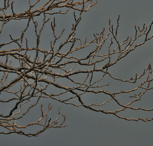 bare branches tree branches