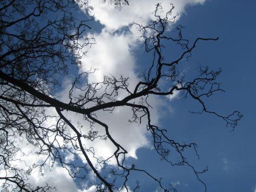 Bare Jakaranda Against The Sky