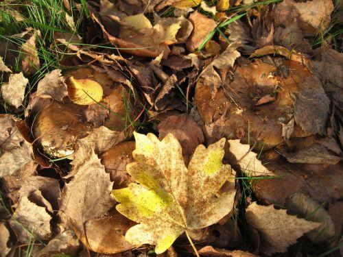 bare kremplinge fall foliage hidden