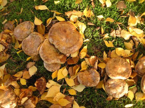 bare kremplinge many mushrooms together