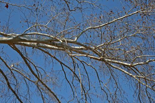 Bare Plane Tree Branch In Winter