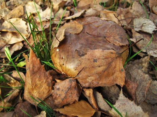 bare shuffletruffle paxillus involutus mushroom genus