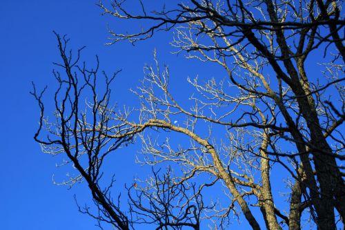 medis, filialai, plikas, žiema, dangus, mėlynas, mėnulis, pusė, plikas medis prieš mėlyną dangų
