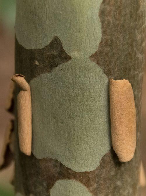žievė,medis,bagažinė,lygus,lupimasis,gumos medis,eukaliptas,atogrąžų miškai,tekstūra,australia