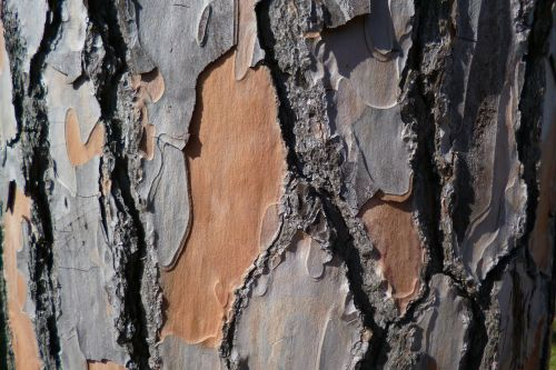 pine bark pine bark