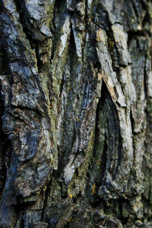 Bark With Grooves And Furrows