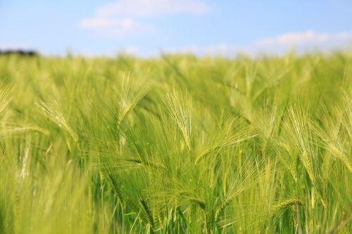barley cereals fields