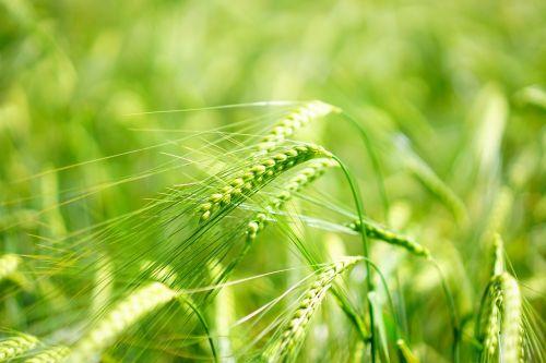 barley young crop green