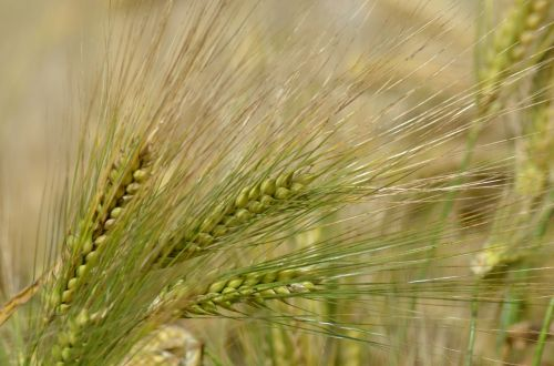 barley cereal agriculture