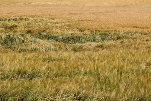 barley field wind