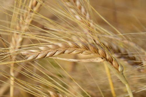 barley ear cereals