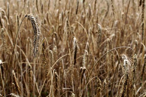 barley cereals barley field