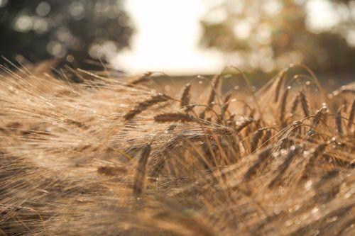 barley summer field