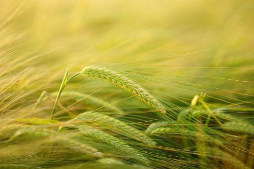 barley getreideanbau barley cultivation