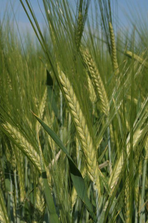 barley cereals field