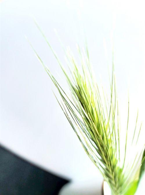 barley grass dune