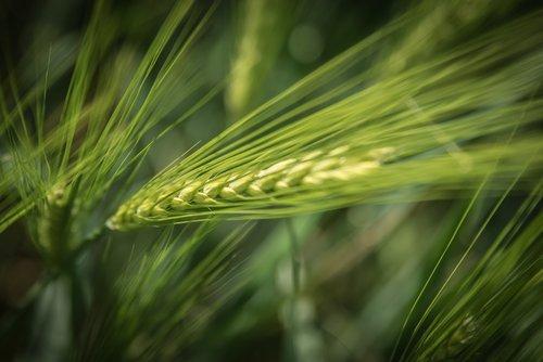 barley  agriculture  cereals