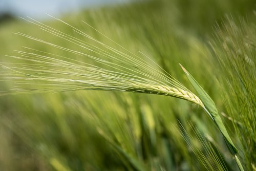 barley  cereals  agriculture