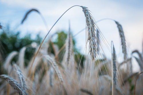 barley  wheat  ear