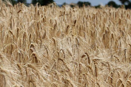 barley hordeum vulgare grass