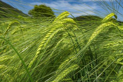 barley  green  cereals