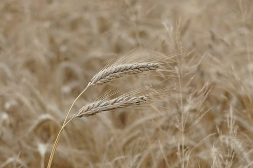 barley  cereals  grain