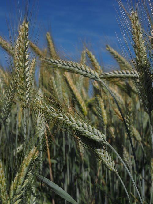 barley barley field cereals
