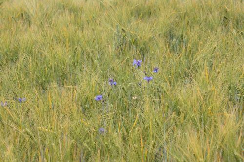 barley tender cornflowers