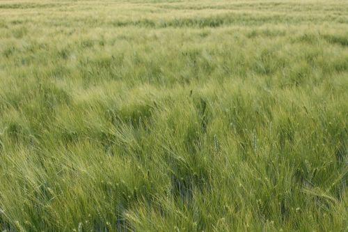 barley close awns