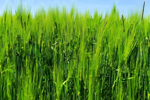barley barley field agriculture