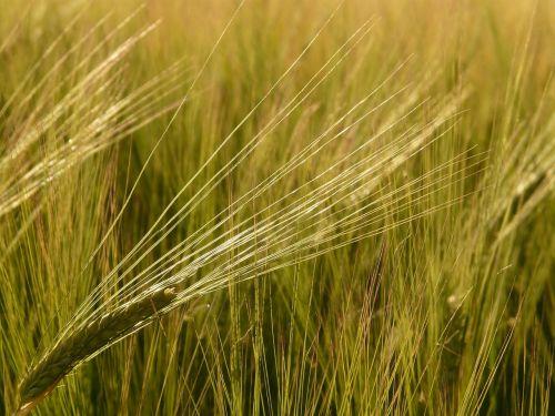 barley field barley cereals