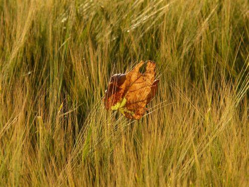 barley field leaf leaves