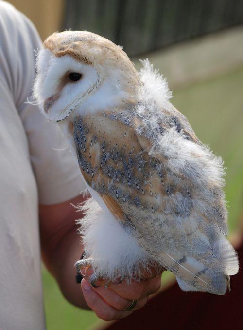 barn owl captive