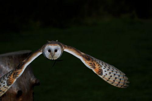 barn owl owl barn