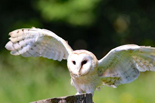 barn owl owl bird
